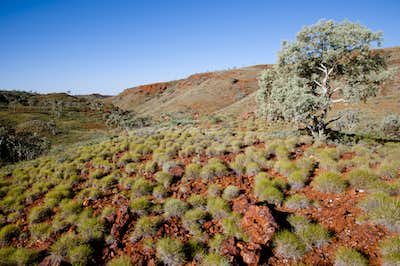 Desert Country Spinifex Plants
