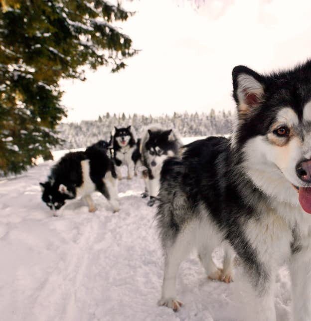 Bavarian Forest Winter Wonderland – Sled Dogs & Igloos