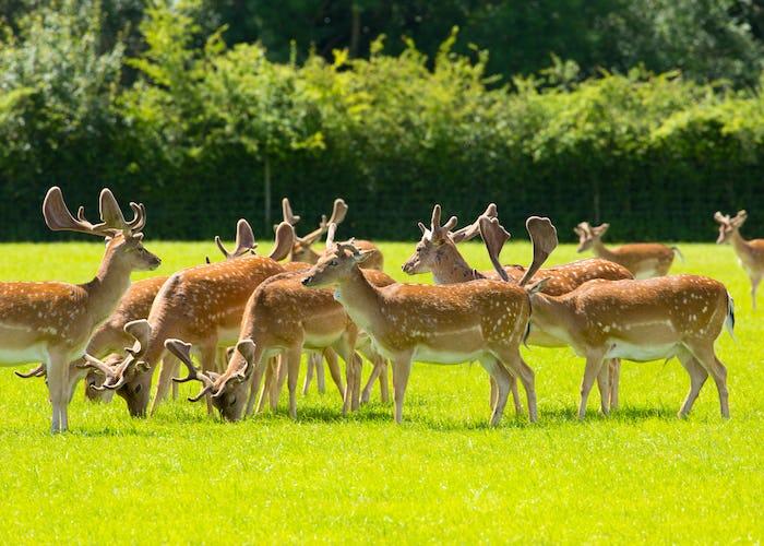 Herd of deer red in colour near Lyndhurst